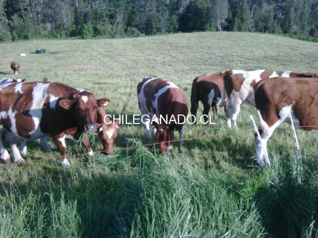 Vendo vaquillas gordas - 2