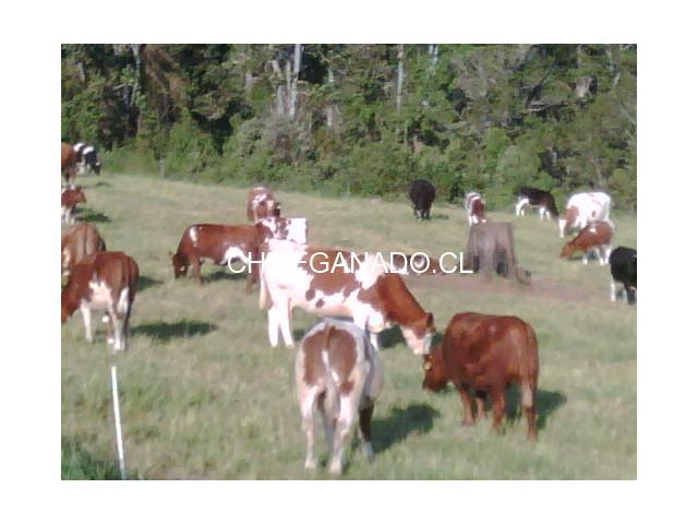 vendo vacas gordas - 1