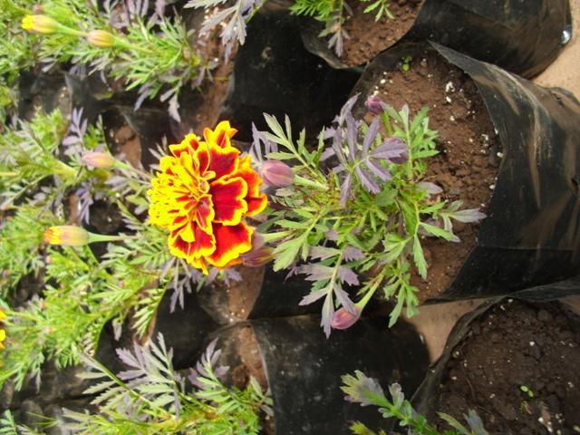Venta de plantas de temporada y ornamental chile ganado for Plantas temporada