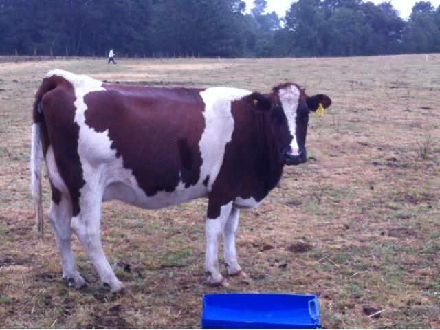 Vendo Vaquillas Preñadas Oferta ¡¡¡¡ $$580.000.--