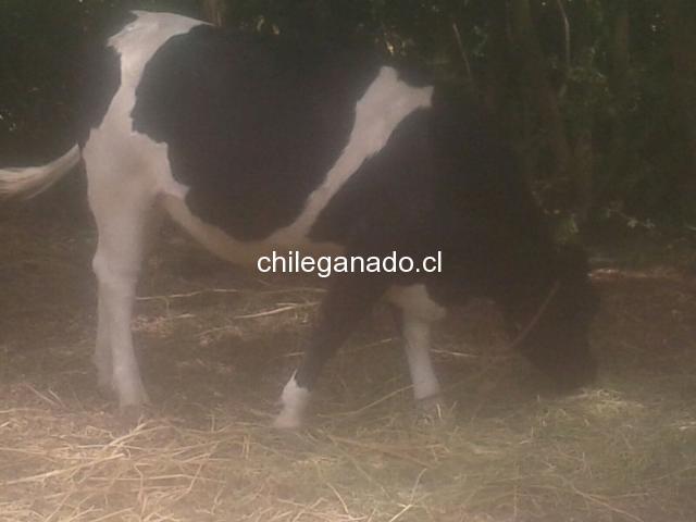 Vendo vaquilla preñada