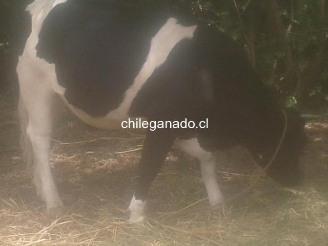 Vaquilla gorda preñada