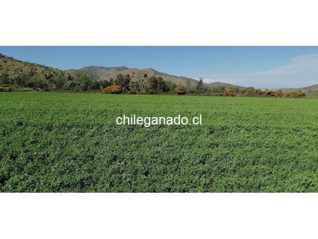 fardos de alfalfa - 1