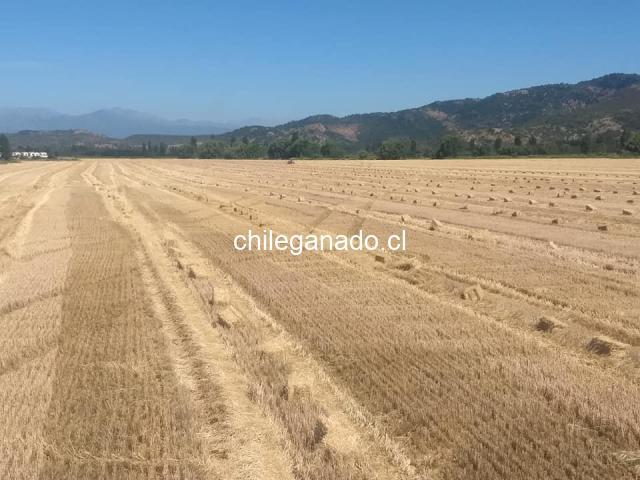 Fardos de paja de trigo - 1