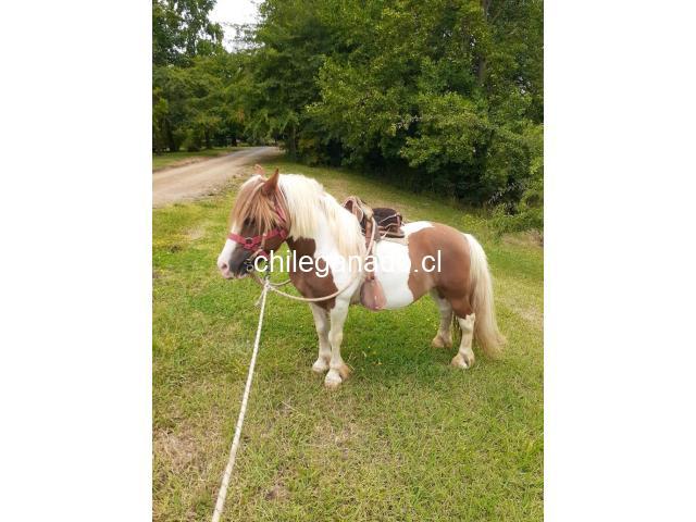se vende pony - 2