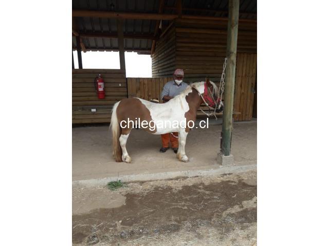 se vende pony - 5